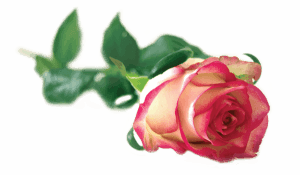 O-Shot® Rose